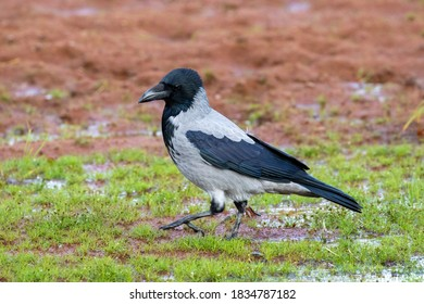 Crow standing on a beach