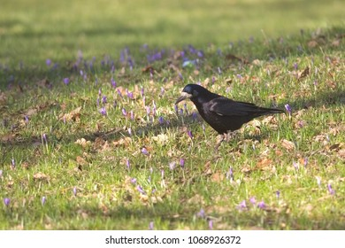 A crow standing on grass with a twig in its beak to use for nesting materials