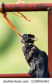 Crow strung up by a gamekeepers gibbet with twine and hung from a farm gate to act as a deterrent or warning to other birds. A method used in rural areas often by gamekeepers. Portrait.