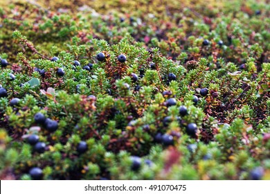 Crowberries close up on russian north, nature background