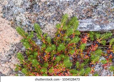 Crowberry (Empetrum nigrum) at Chowiet Island, Semidi Islands, Alaska, USA