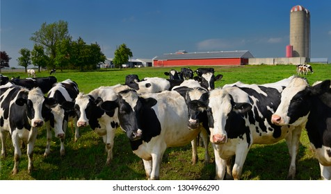 Crowd of curious young Holstein cows on a dairy farm in Ontario with barn and silo Vaughan, Ontario, Canada - May 22, 2011