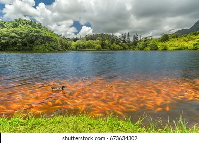 A crowd of koi fish along the shore of the lake at Hoomaluhia Botanical Gardens in Kaneohe on Oahu, Hawaii