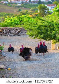 Crowd of Large turkeys in farm yard in Andalusian countryside