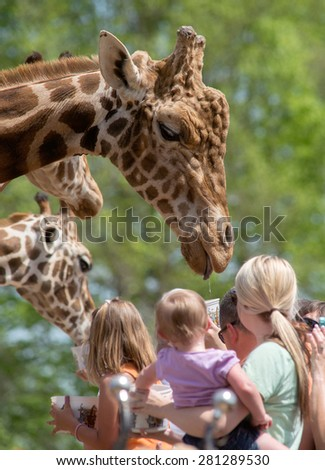 A crowd of people feeding a large male Giraffe