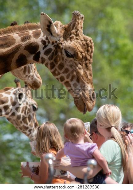 A crowd of people feeding a large male Giraffe
