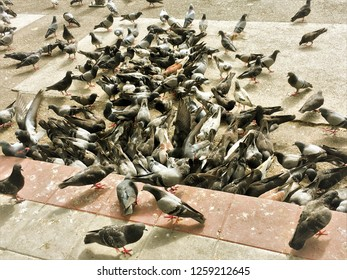 Crowd of pigeon on the walking street.pigeons spread diseases.Pigeons carry a surprising number of pathogens that spread diseases.How do pigeons spread disease?Pigeons transmit diseases through their