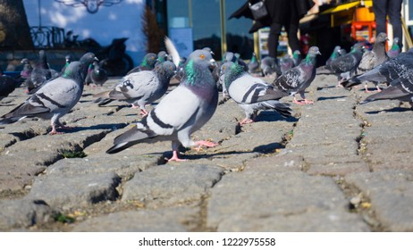 Crowd of pigeons walking and gathering foods and birdseeds on the city square. Flock of pigeon birds feeding on the street. Nutrition concept image. Hungry pigeons eating bread. Selective focus.