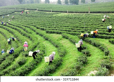 Crowd of tea picker picking tea leaf on plantation, Chiangrai province , Thailand