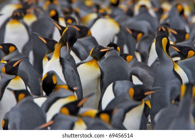 Crowded colony of King Penguins. One penguin is preening itself in the middle.