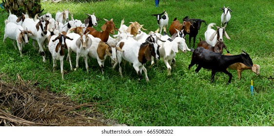 crowded of goat in the palm forest
