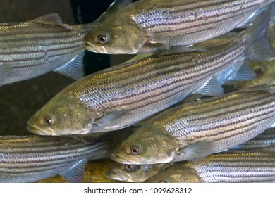A crowded, underwater school of curious striped bass with shiny scales swim by