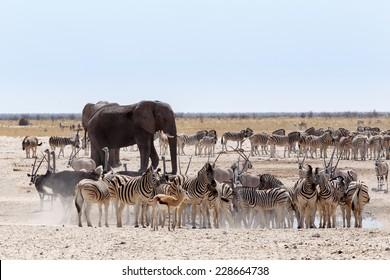 Crowded waterhole with Elephants, zebras, springbok and orix. Etosha national Park, Ombika, Kunene, Namibia. True wildlife photography