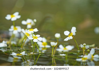 Crowfoot flowers in calm stream
