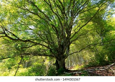 Krone eines großen alten Buchenbaums. Ein alter Buchenbaum mit üppig grünem Laub und mächtigen Ästen im Sommer