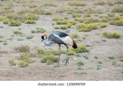 Crown Crane strutting across the field