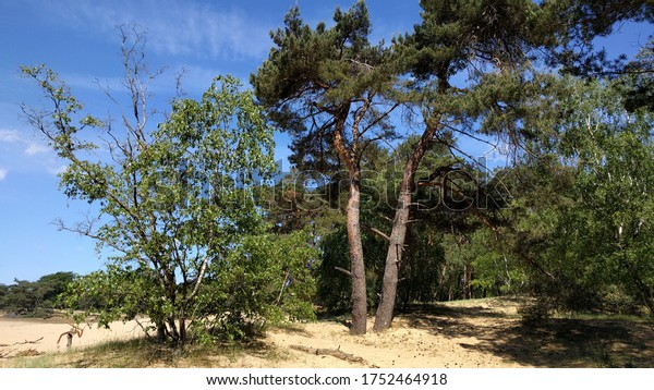 Crown dying birch tree in Veluwe National Park in the Netherlands - Desertification. The impact of climate change appears to be largest on elevated sandy soils of the Pleistocene uplands