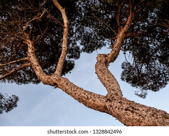 Crown of an evergreen tree against the sunset sky, low angle view