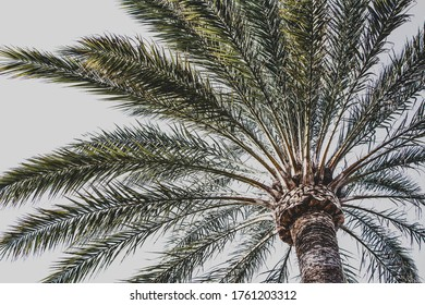 the crown of palm tree