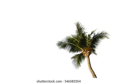 Crown of a palm tree of coconut isolated on white background