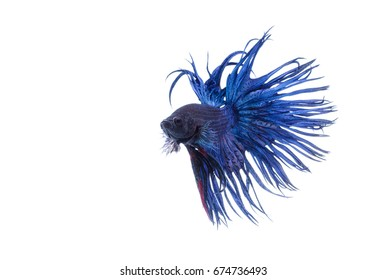 Crown tail fighting fish,siamese fighting fish isolated on white