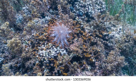 Crown of thorns or cot sea star on top of corals. COTs prey on corals.