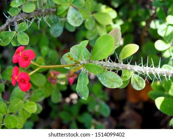 Crown of thorns (Euphorbia milli) plant in bloom, focus on the stem and its thorns. Native to Madagascar.