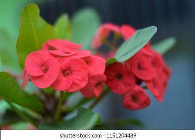 Crown of thorns flowers  Euphorbia milli Desmoul