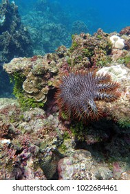Crown of Thorns star fish in Guam, USA.