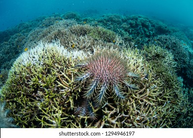 A Crown of Thorns starfish feeds on living corals on a reef in Raja Ampat, Indonesia. These sea stars sometimes occur in huge numbers and can destroy entire swaths of reef.