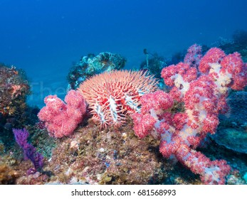 Crown of Thorns Starfish on the reef