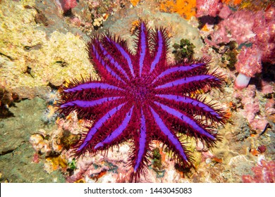 Crown of Thorns Starfish (Purple Variant) Thailand