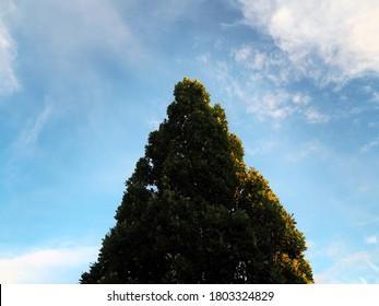 Crown of a tree Quercus petraea (dub zimni) known also as the sessile oak, Cornish oak, Irish Oak or durmast oak in contrast with sky and clouds in PRAGUE, CZECHIA/Czech Republic, Europe - Shutterstock ID 1803324829