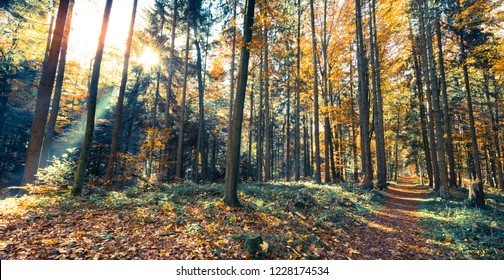Crown of trees in the autumn forest. Sun rays through foliage and tree branches.