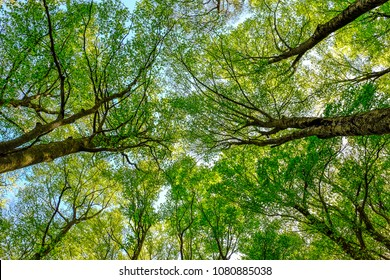 Crown trees in a beech woodland. Green background