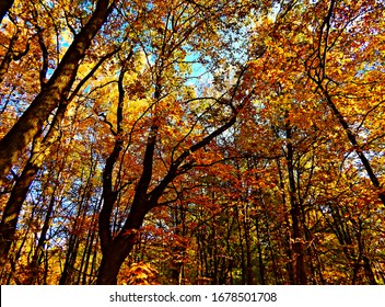 Crown of trees with yellow leaves in the autumn forest.
