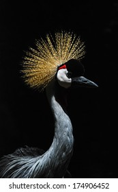 Crowned Black Crane