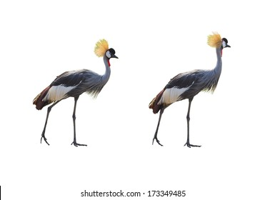 Crowned Crane (Balearica pavonina). isolated on white
