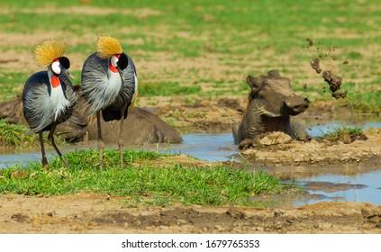 Crowned Crane birds watching Warthog playing in the mud