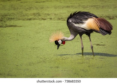 crowned crane find food at the river