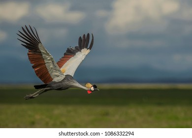 Crowned Crane in Flight !  UP IN THE AIR, IN ALL ITS MAGNIFICENCE ! shot at Amboseli.