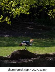 Crowned Crane in the savanna walking