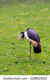 crowned crane scratching itself