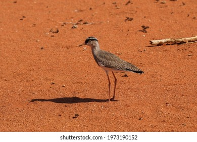 Crowned Lapwing bird on ochre sand in Palmwag, Namibia