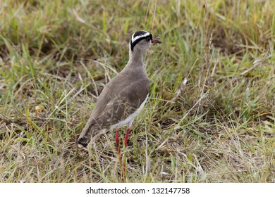 Crowned Lapwing, Masai Mara National Park, Kenya