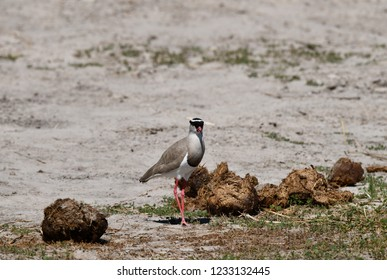 Crowned Lapwing on the ground