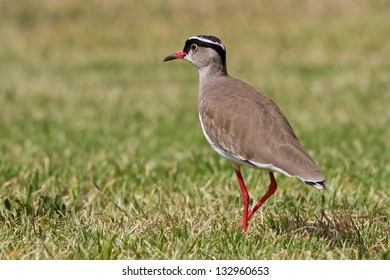 Crowned Lapwing, or Crowned Plover, against a grass background.