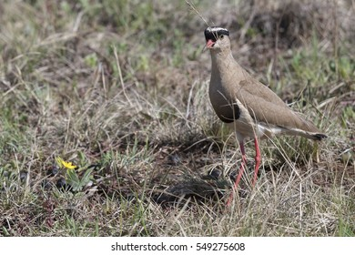 A crowned lapwing standing in veldt grass
