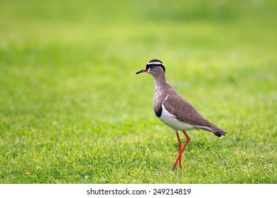 Crowned Lapwing (Vanellus coronatus) sitting on a lawn in Cape St. Francis, South Africa.