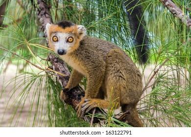 Crowned lemur (Eulemur Coronatus), endemic lemur from northern Madagascar